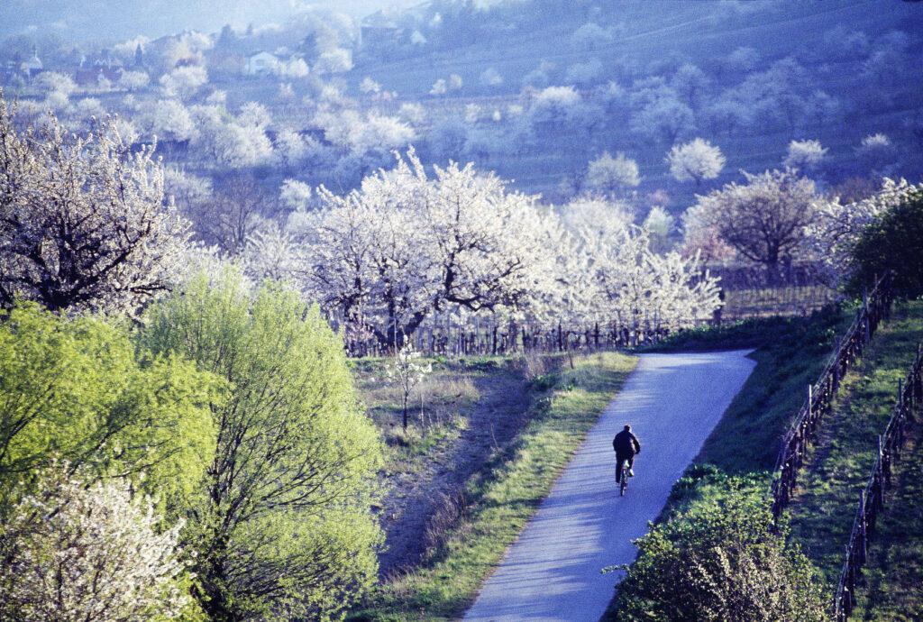 Burgenland in der Kirschblüte in Österreich
